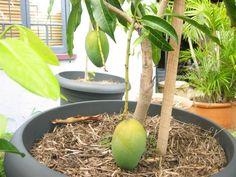 mango exotische Obstbäume im Topf pflanzen pflegen Obwohl Mangos das tropische Klima lieben, kann man noch versuchen und eine Mango in einem Kübel zu wachsen. Wählen Sie einen Mangobaum aus dem Markt und pflanzen Sie ihn in einen Kübel mit Löchern für die Entwässerung. Folgen Sie den Anweisungen und bewässern Sie den Baum direkt nach der Pflanzung. Sie können auch einen Mangobaum aus einem Samen anpflanzen.