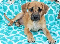 Washington, DC - Beagle Mix. Meet PUPPY GIA, a puppy for adoption. http://www.adoptapet.com/pet/16857693-washington-dc-beagle-mix