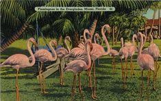 Vintage Postcard of Pink Flamingos by ElushskaBabushska on Etsy Members of the Pacific Postcards Team Florida International University, Vintage Florida, Pink Flamingos, Vintage Paper, Vintage Travel, Vintage Postcards, Creatures, History, Pictures