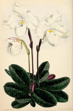 10, 1871 - The Floral magazine; - Biodiversity Heritage Library