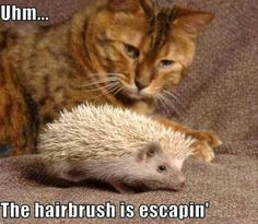 Funny Cat Hairbrush Escaping Hedgehog