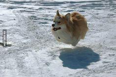 Flying corgi ball!