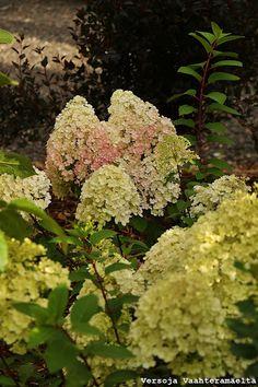Versoja Vaahteramäeltä Annabelle Hydrangea, Hydrangea Paniculata, Heuchera, Garden, Garten, Lawn And Garden, Gardens, Gardening, Outdoor