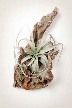 air plants. This type is my favorite!