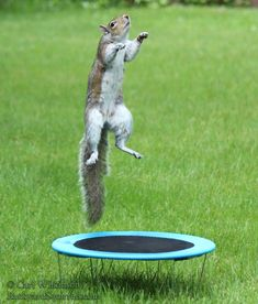 playful squirrel is playing on the trampoline and having all sorts of fun jumping and flipping and doing tricks