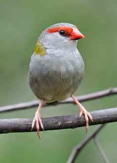 Red-browed Finch ~ Neochmia temporalis by alwynsimple on Flickr...