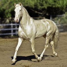 lusitano   andalusian Big Hair Baroque Big Hair Baroque Rare and Exotic Stallion for Stud in California