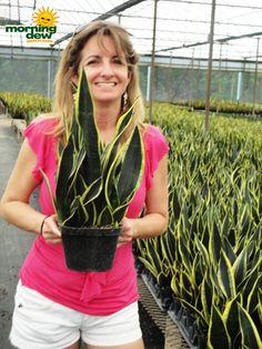 sansevieria black gold superba snake plant Wholesale Plants, Sansevieria Plant, Tower Garden, Snake Plant, All The Way Down, Tropical Plants, Cut Flowers, Garden Hose, Houseplants