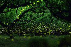 Lluvia de luciérnagas en Japón Estas instantáneas han sido tomadas por el fotógrafo japonés Yume Cian en los bosques próximos a la ciudad de Nagoya (Japón).  Yume utiliza exposiciones largas para transformar a las luciérnagas en puntos verdes y amarillos que flotan en el bosque. El resultado son estos cuadros de luz donde quedan dibujadas las trayectorias de estos animales bioluminiscentes.