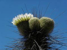 Copado/Copao Cactus Fruit/Eulychnia breviflora  Philippi