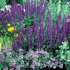 Perennials With Silver Foliage - Avast Yahoo Image Search Results