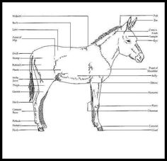 a5f17465723e9a7db8b7269ca518d899 donkeys care mini donkey donkey anatomy diagram data wiring diagram