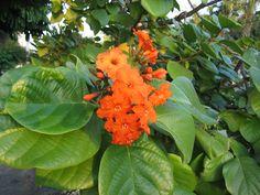 Orange Cordia