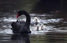 Image result for черный лебедь фото птица