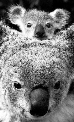 91 Best Koala Art Images Art Australian Animals Baby Koala