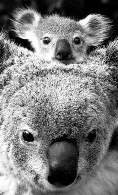 Surrogate mother Gismo with 9 month old baby koala Dimple at The Australian Wildlife Park at Wonderland on 2 September, 1996. Photo by Rick Stevens (now linked to original colour image). °