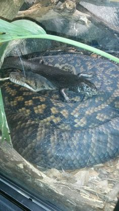 Check out our reptilian besties, the Scrub Python and Land Mullet Skink in the Reptile House at Healesville Sanctuary.