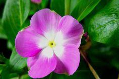 I uploaded new artwork to fineartamerica.com! - 'Purple Periwinkle Flower 1' - http://fineartamerica.com/featured/1-purple-periwinkle-flower-1-lanjee-chee.html