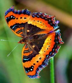 Butterfly Kisses, Butterfly Flowers, Butterfly Wings, Beautiful Bugs, Beautiful Butterflies, Amazing Nature, Butterfly Chrysalis, Butterfly Species, Butterfly Painting