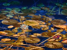 Nénuphar et Water lily... by PsypaxLeMutant. @go4fotos