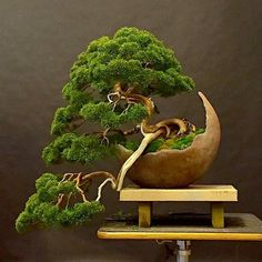 Are you interested in getting an indoor bonsai tree? If you are, then you definitely need to learn about how you can take good care of your tree so that it will survive life indoors. Bonsai Tree Types, Bonsai Tree Care, Indoor Bonsai Tree, Bonsai Plants, Bonsai Garden, Bonsai Trees, Diy Garden, Garden Art, Bonsai For Beginners