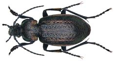 Family: Carabidae Size: 13-23 mm Origin: Palaearctic, from central Europe to Sakhalin Location: Russland, Altai, Aktasch leg. Nikolaevsky, 1991; det. U.Schmidt, 1995 Photo: U.Schmidt, 2008