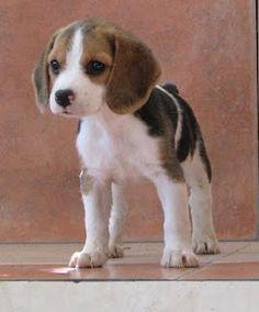 Cachorro Beagle HGG