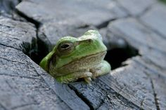 The Frog which dozes by bickyon