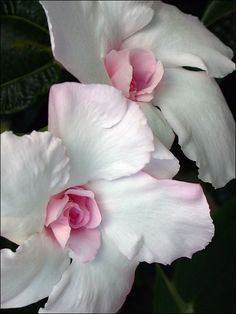 Mandevilla, an annual vine  .. just simply beautiful...great for a potted houseplant as well