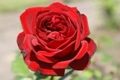 Archbishop Desmond Tutu - Ludwigs Roses | When Archbishop Desmond Tutu turned 75 in October 2006, this sparkling red rose was named after him. The rose was donated by Ludwig Taschner in recognition of the Archbishop's lifelong work for peace in SA. This rose will help raise money for the Tygerberg Children's Hospital in Cape Town of which the Archbishop & Mrs Tutu are patrons.