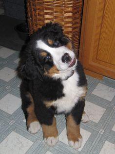 Sasha ,our bernese mountain dog puppy