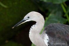 Pacific Heron - Australia