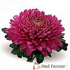 Druhy a odrody chryzantémov, klasifikácia záhradníkov > Produkcia plodín > Mad Poľnohospodár Chrysanthemum, Plants, Plant, Planets, Chrysanthemum Morifolium