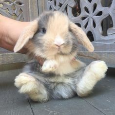 Harlequin Holland Lop