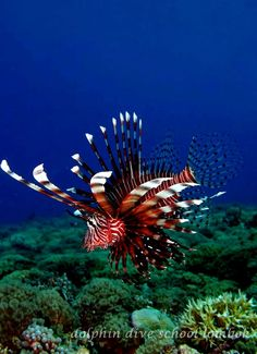 Firefish by Dolphin Dive School Lombok, via Flickr