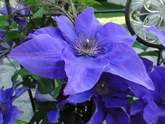 """Large, 5"""" purple flowers with slightly blue center stripes on Clematis """"The President"""""""