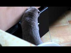 Cat Opening Drawer Gets Busted! Oh he looks so guilty!