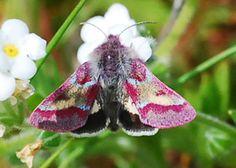 Common Flower Moth - Schinia pulchripennis - Lepidoptera: Noctuidae - Nix Nature Center, Laguna Beach, CA