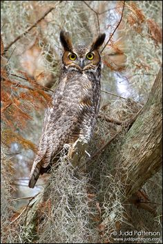 Great-horned Owl   Flickr - Photo Sharing!