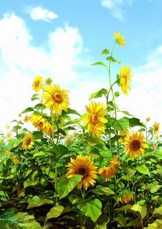 Sunflower Garden, Sunflower Art, Sunflower Fields, Happy Flowers, Beautiful Flowers, Peach Tumblr, Happy New Year Pictures, Sunflower Pictures, Disney Aesthetic