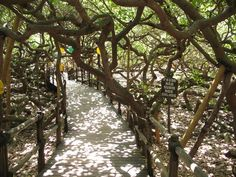 Discover World's Largest Cashew Tree in Parnamirim, Brazil: You feel like you're in a forest, but you're actually walking amidst the branches and trunks of a single giant tree. Mexico Vacation, Vacation Places, Cashew Tree, Giant Tree, Mother Nature, Worlds Largest, Brazil, Places To Visit, Outdoor Structures