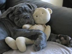 Neapolitan mastiff with teddy bear