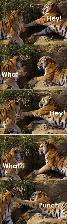 Tiger punch! - funny pictures - funny photos - funny images - funny pics - funny quotes - #lol #humor #funny