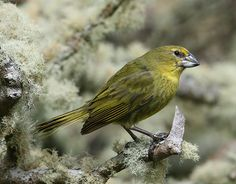 Credit: Peter Ryan/RSPB The endangered Wilkins's bunting is restricted to one tiny island in the Tristan da Cunha group. With just 80 pairs ...