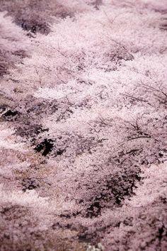 Phoenix Legend: inoperant: 中目黒・桜 (by u_ran2008)