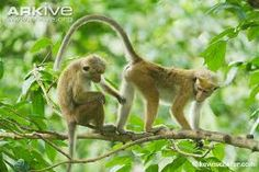 Image result for macaque tails
