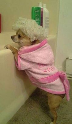 Chihuahua...this looks like our Chica in the face but she'd never be standing that close to a bathtub!