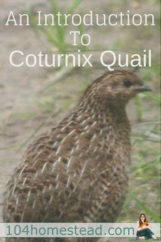 There are several varieties of quail available, but Coturnix Quail are one of the most popular choices. The most common reasons for keeping them is for eggs and meat.