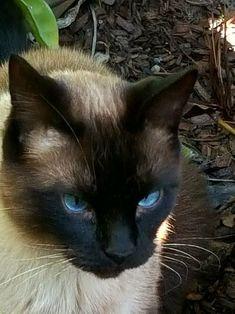 Max the handsome man cat <3 #SiameseCat
