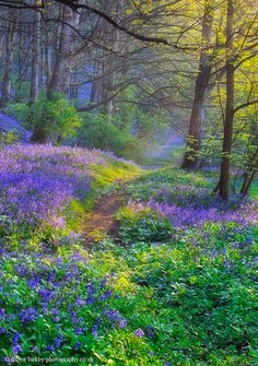 ***Bluebell Dawn (Calderdale, West Yorkshire) by calderdalefoto